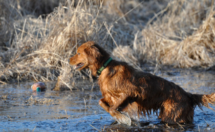Training an upland sporting dog involves plenty of work on dry land, as it should. Pheasant, quail