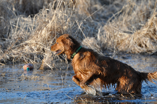 Water Work: Helping Your Dog Master Wet Retrieves