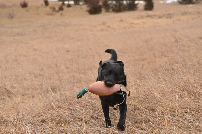 Best Training Tips for a Young Bird Dog