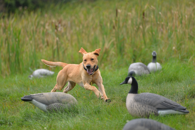 Challenging a Young Bird Dog