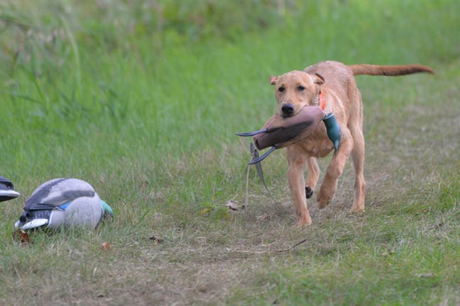 treat-training-for-young-dogs