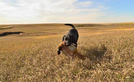 No die-hard bird hunter looks beyond October. Whether it's the mid-month pheasant opener throughout