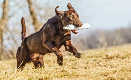 Here's why you shouldn't stop training your gun dog, even after it's an adult!