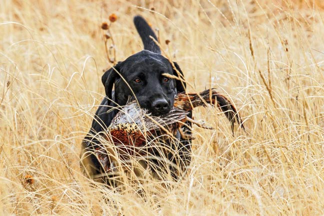 Q&A: Ear Infections and Irritations in Game Dogs