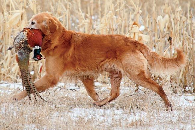 Make-Retrievers-Into-Gun-Dogs