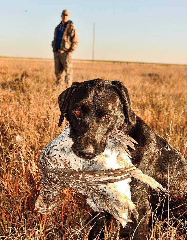 public-land-pheasants-in-south-dakota