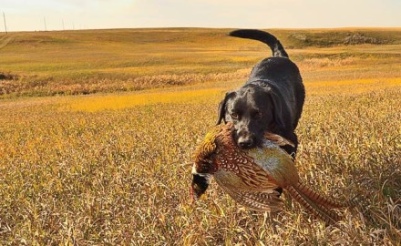 public-land-pheasants-south-dakota