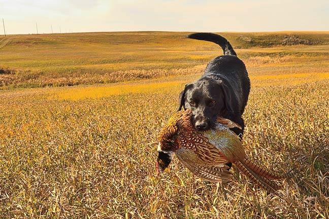 public-land-pheasants-south-dakota
