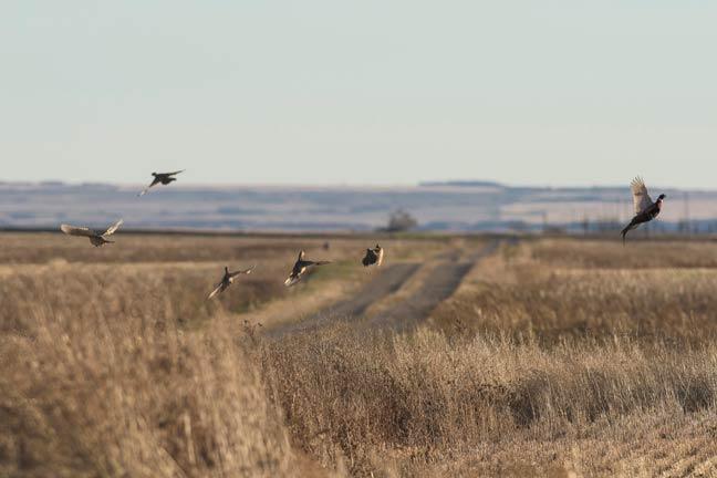south-datoka-pheasant-hunting