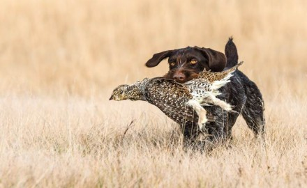 Problem My Drahthaar pup was about 9 months old when hunting season started. I had done some