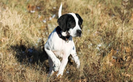 In the world of bird dogs, choosing exactly the right puppy is a quixotic venture. Here's how to make a good pick!