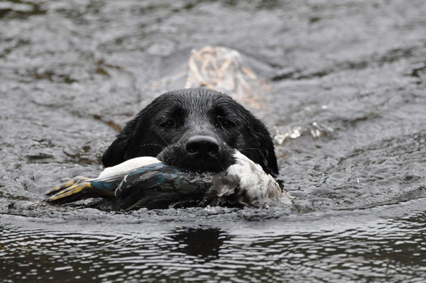 We ask a lot of our bird dogs throughout the hunting season, especially on extended trips where they go for days on end. It's imperative we address their recovery needs correctly. Quality nutritional supplements can help.