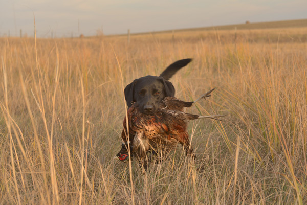 While proper exercise is the key to building a bird dog that can hunt all day, it's also necessary to address their ability to recover after their day-long efforts.