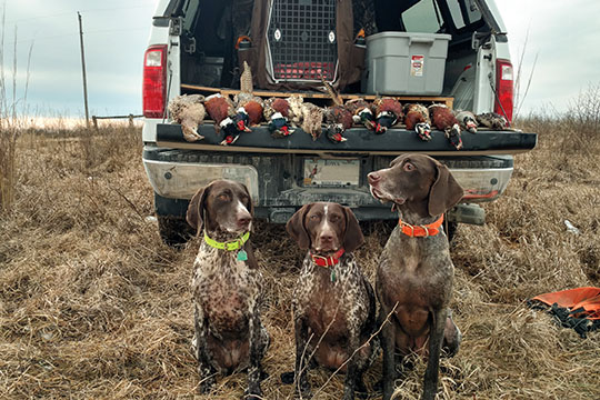 Kent Nutrition Group's Bruce Read has a passion for sporting dogs and chasing roosters. Pictured here are his three GSPs after a day of upland hunting.