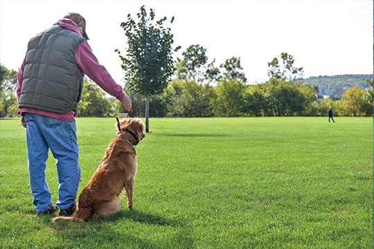 There are two types of goldens out there: field bred and the rest. Hunters looking for an intelligent, shorter-coated retriever that will hunt from dark to dark need to research field-bred goldens.