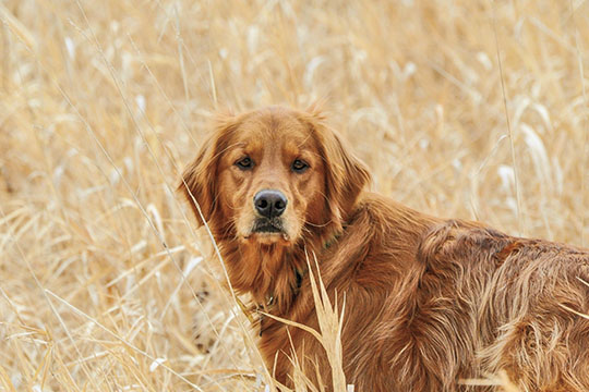 One of the reasons that golden retrievers became so popular is their willingness to please. A good sign of a dog that is working for you (not for itself) is if the dog checks back often and looks you in the eye. Goldens are well known for this trait, especially in the field where it matters most.