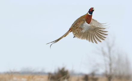The forecast for quail and pheasant hunting looks good for 2017 and it's just in the nick of time.
