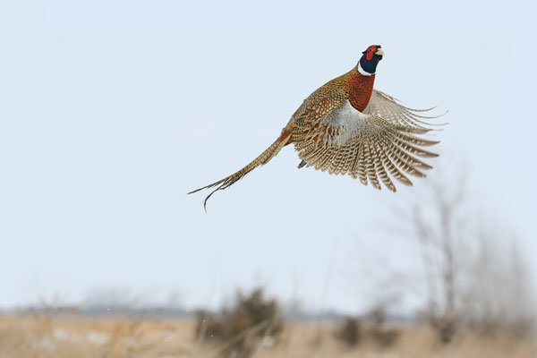 2017: Best States For Quail And Pheasant Hunting