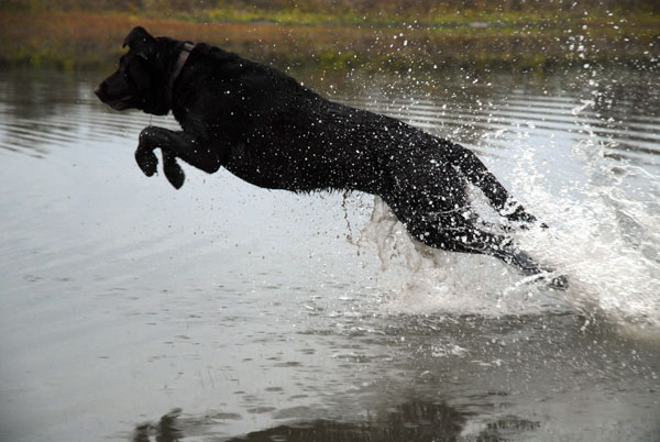 Gun Dogs: 3 Keys For Peak Performance