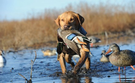 When choosing a hunting dog that can handle just about any situation from upland to waterfowl hunting, the trusty Lab is among the best.