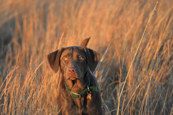 When choosing a Labrador for color, make sure you investigate its bloodlines thoroughly to ensure it comes from solid hunting stock.