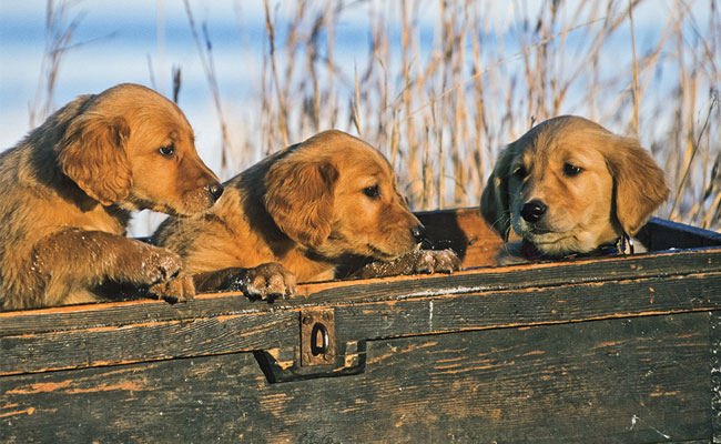 """We should never """"cut corners"""" when feeding our gun dogs."""