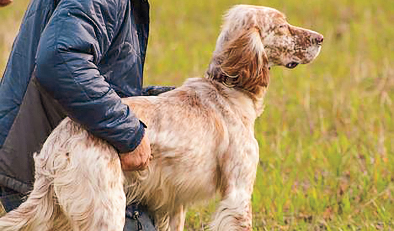 Studies have shown spaying and neutering gun dogs can lead to orthopedic diseases.