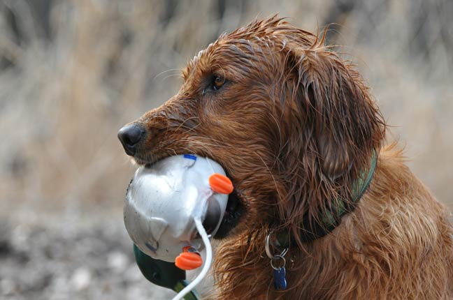 Water Work For Upland Dogs