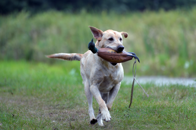 Summer Bird Dog Training Essentials