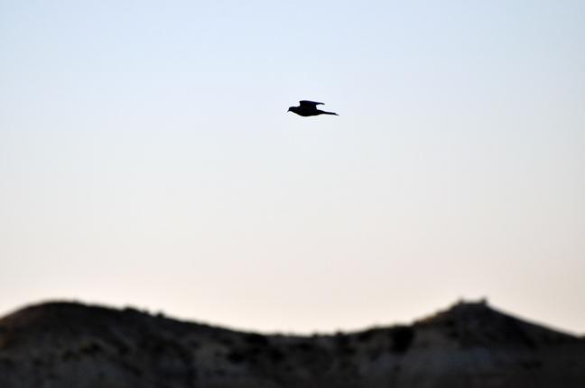Doves-Flying2