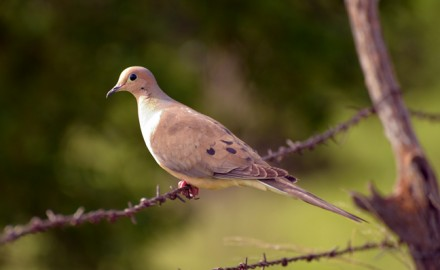 August scouting is imperative for September dove hunting success. Here's how you should do it!