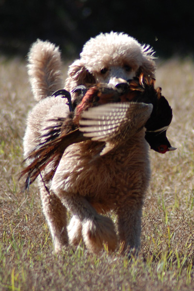 //www.gundogmag.com/files/8-rare-bird-dog-breeds-at-pheasants-forevers-national-pheasant-fest/poodle_1.jpg