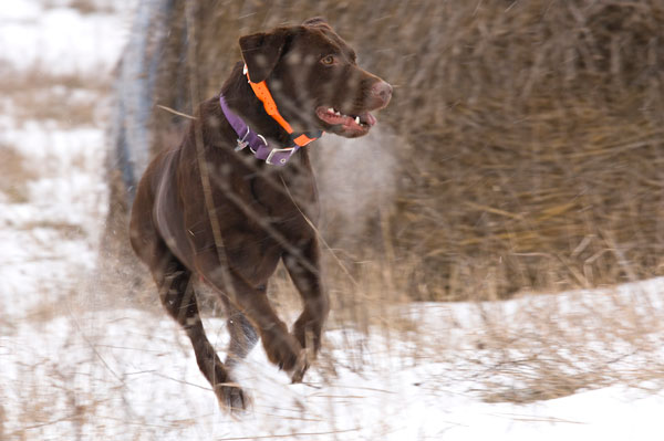 //www.gundogmag.com/files/all-in-a-days-work-hard-hunting-lab-photos/labs_004.jpg