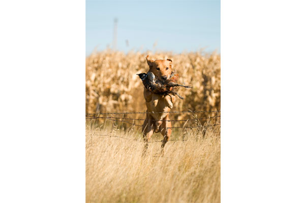 //www.gundogmag.com/files/all-in-a-days-work-hard-hunting-lab-photos/labs_005.jpg