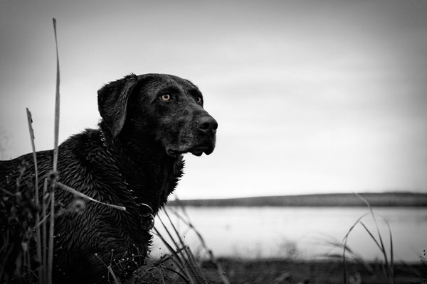 //www.gundogmag.com/files/all-in-a-days-work-hard-hunting-lab-photos/labs_010.jpg