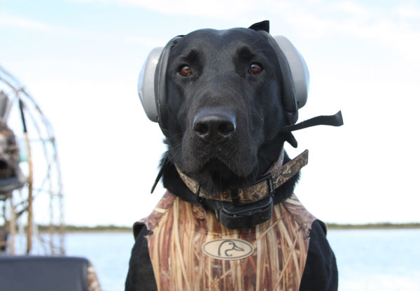 //www.gundogmag.com/files/all-in-a-days-work-hard-hunting-lab-photos/labs_011.jpg
