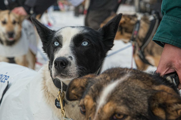 //www.gundogmag.com/files/dogs-of-iditarod/03_iditarod.jpg