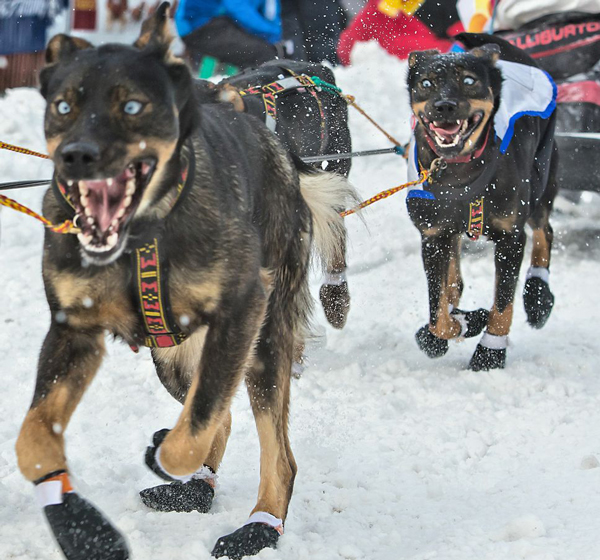 //www.gundogmag.com/files/dogs-of-iditarod/08_iditarod.jpg