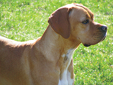 //www.gundogmag.com/files/gun-dog-breed-profiles/gd_pointer_103111a.jpg