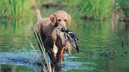 //www.gundogmag.com/files/gun-dog-breed-profiles/gd_poodle_090611d.jpg