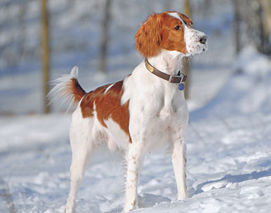 //www.gundogmag.com/files/gun-dog-breed-profiles/gd_red_white_setter_081911a.jpg