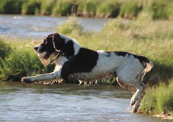 //www.gundogmag.com/files/gun-dog-breed-profiles/springer5.jpg