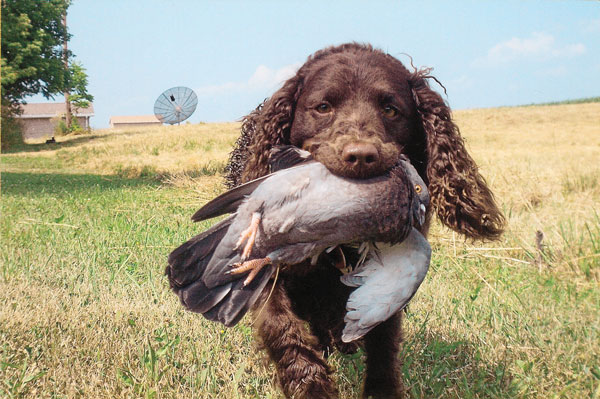 //www.gundogmag.com/files/gun-dog-breed-profiles/water-spaniel_001.jpg