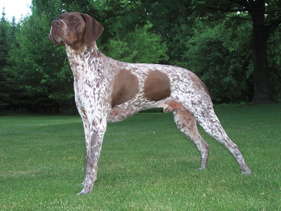 //www.gundogmag.com/files/gun-dogs-breed-profiles/braque_francais.jpg