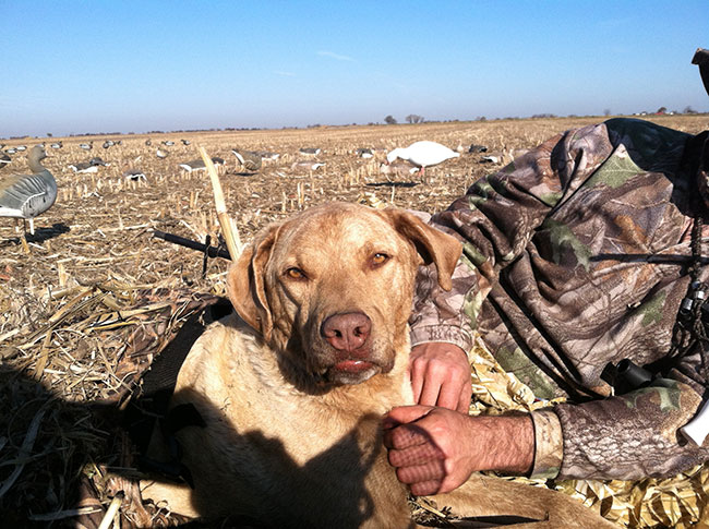 //www.gundogmag.com/files/gun-dogs-breed-profiles/chesapeak.jpg