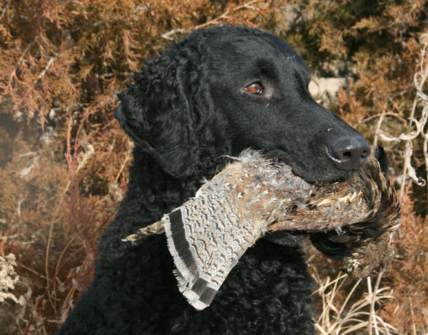 //www.gundogmag.com/files/gun-dogs-breed-profiles/curly-coated-retriever_001.jpg