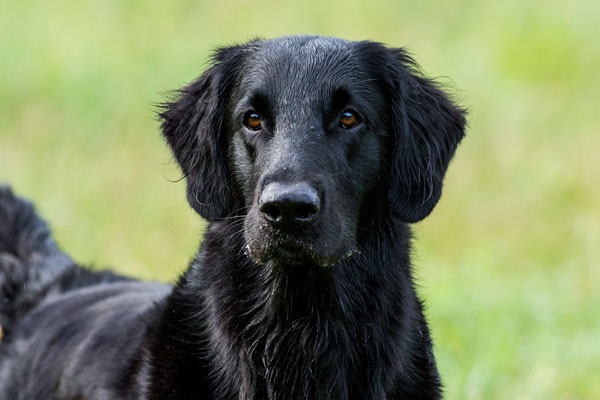 //www.gundogmag.com/files/gun-dogs-breed-profiles/flat-coated-retriever_001.jpg