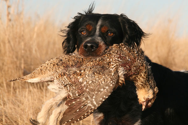 //www.gundogmag.com/files/gun-dogs-breed-profiles/french-brittany_008.jpg
