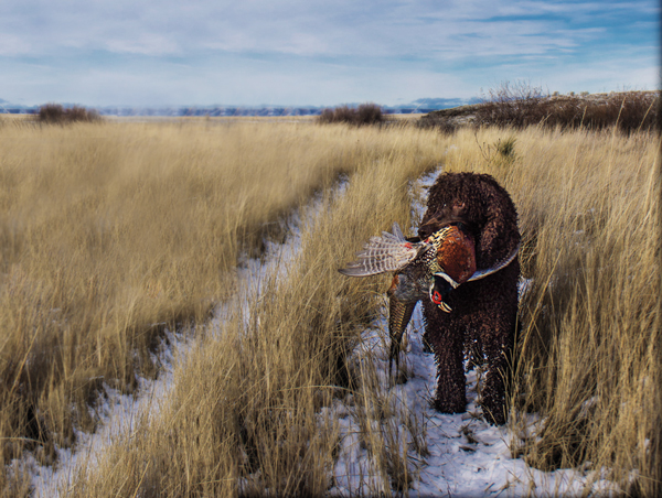 //www.gundogmag.com/files/gun-dogs-breed-profiles/irish_water_spaniel.jpg
