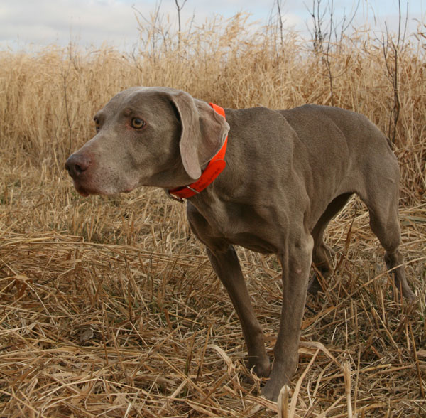 //www.gundogmag.com/files/gun-dogs-breed-profiles/weimaraner_001.jpg